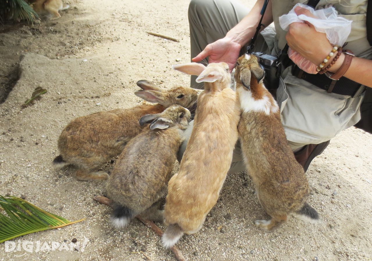 大久野島-野生兔-餵食