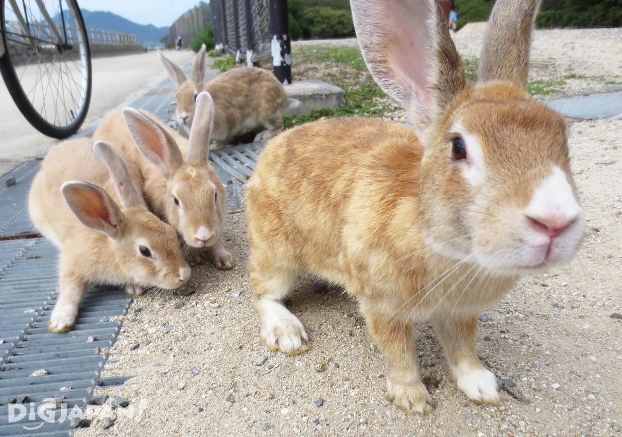 大久野島-野生兔-排隊等餵食
