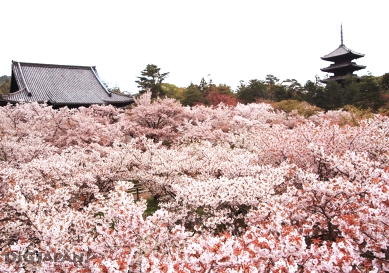 kyoto sakura 7.1