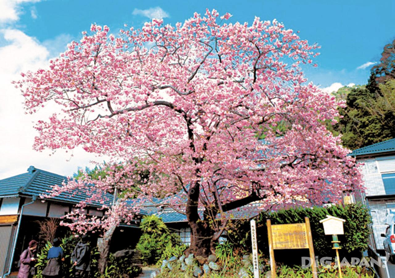 河津櫻原木