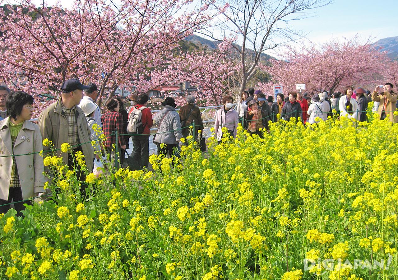 河津櫻花祭-遊客