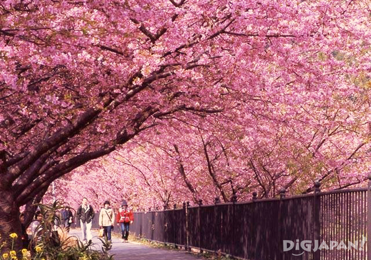Tunnel of sakura