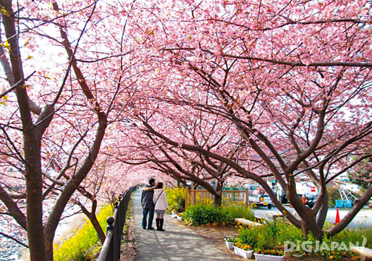 couple enjoying sakura