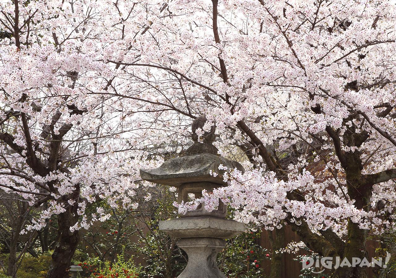 Sakura at Sannenzaka