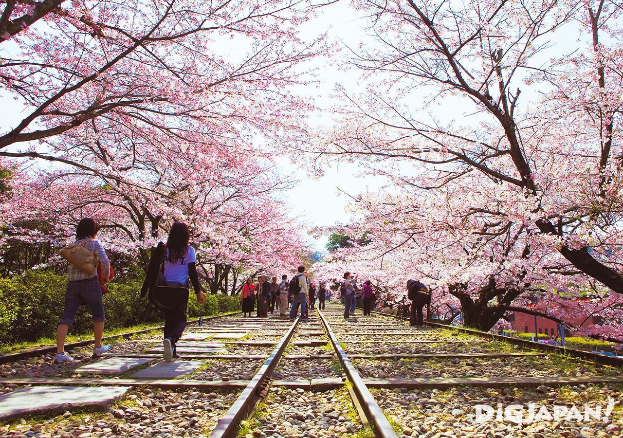 Sakura at Keage Incline