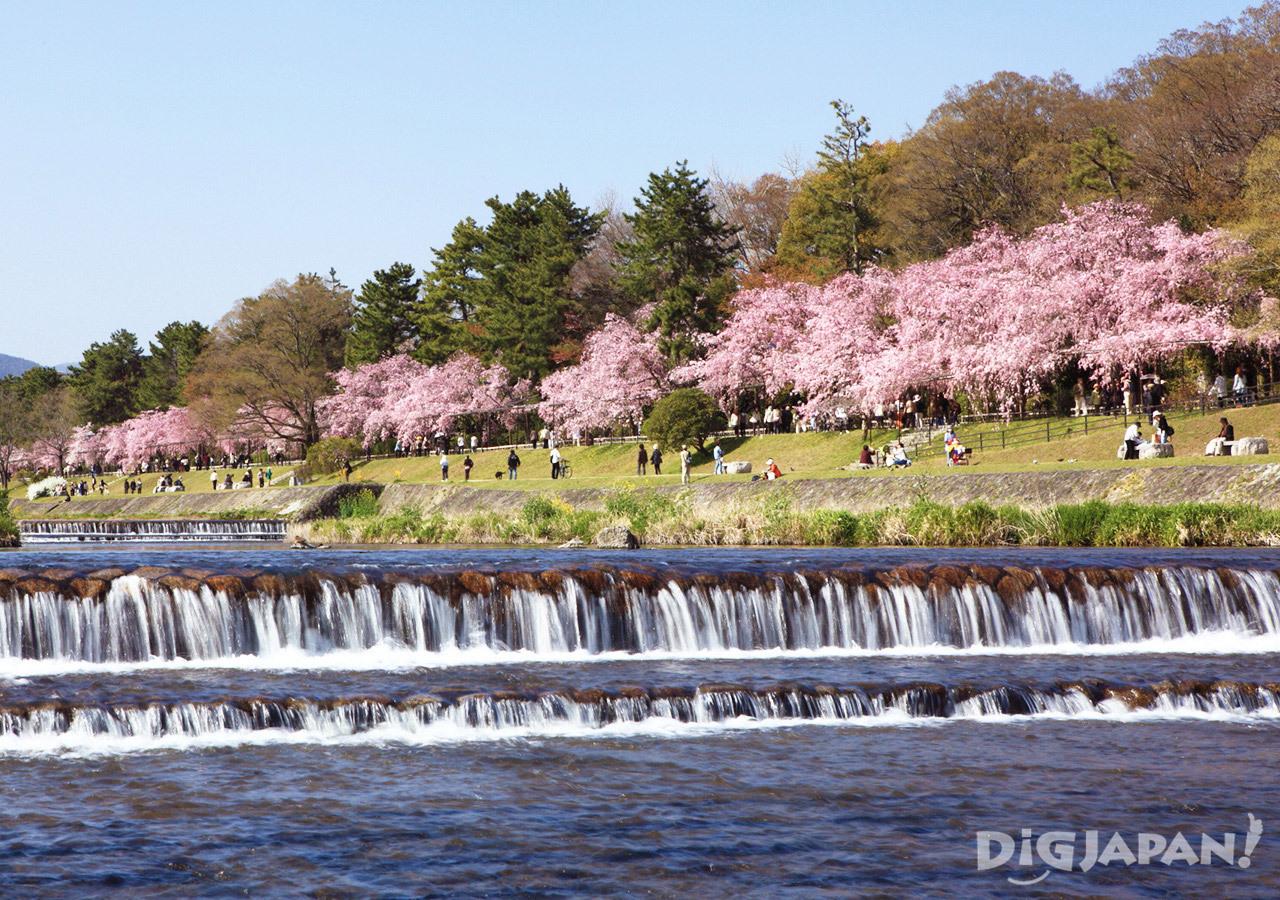 Sakura at Nakaragi No Michi