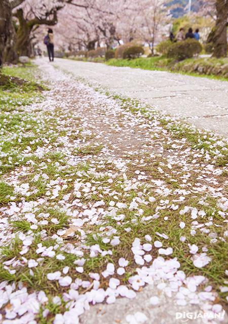 Sakura at Tetsugaku No Michi  Philosopher's Path