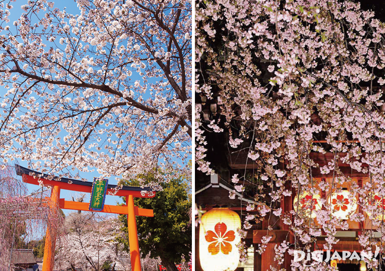 sakura at hirano jinja shrine
