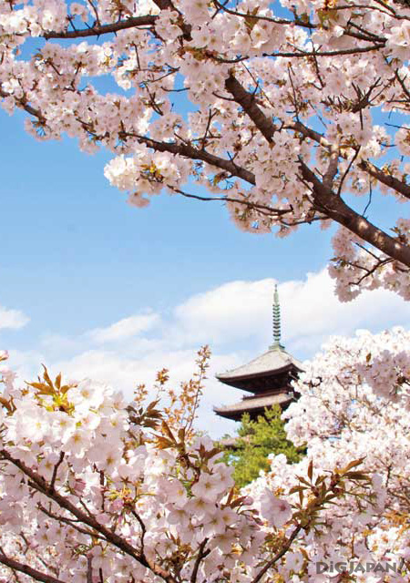 Sakura at Ninna-ji Temple