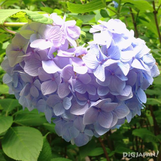 镰仓紫阳花