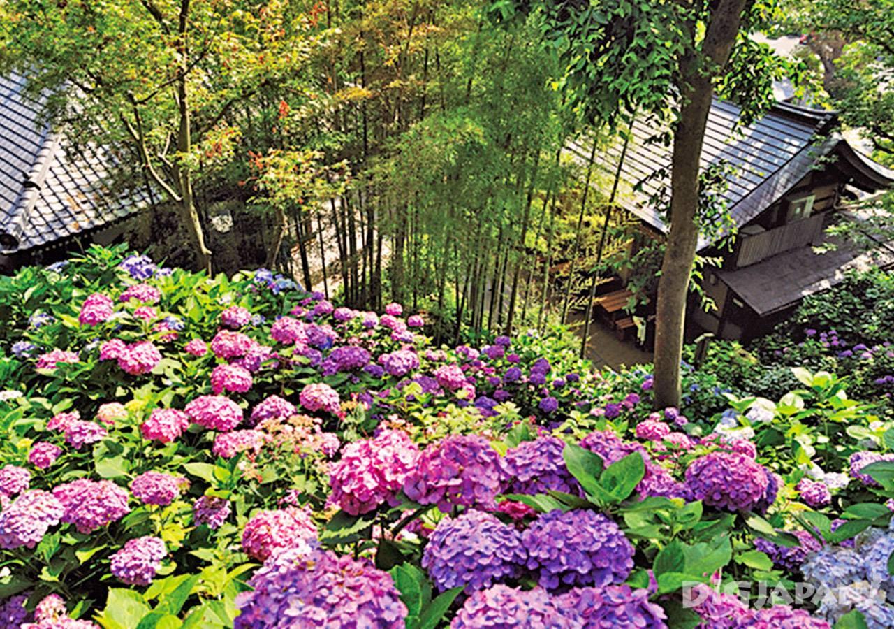 长谷寺紫阳花1