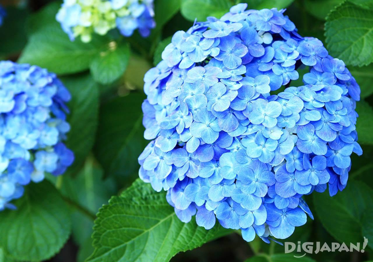 明月院紫阳花3