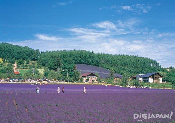 Sakiwai Lavender Field at Farm Tomita in Hokkaido summer Japan