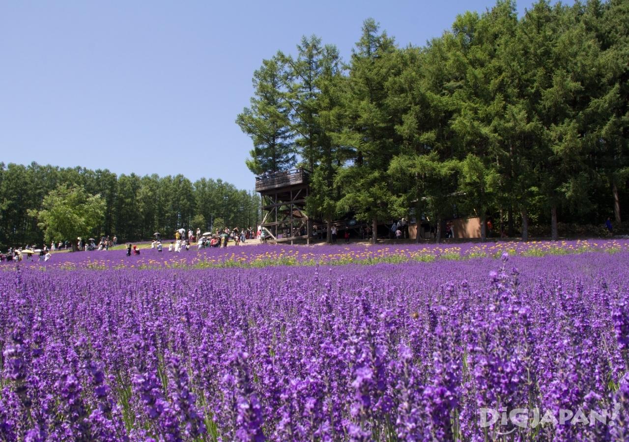 홋카이도의 후라노의 여름 꽃밭4