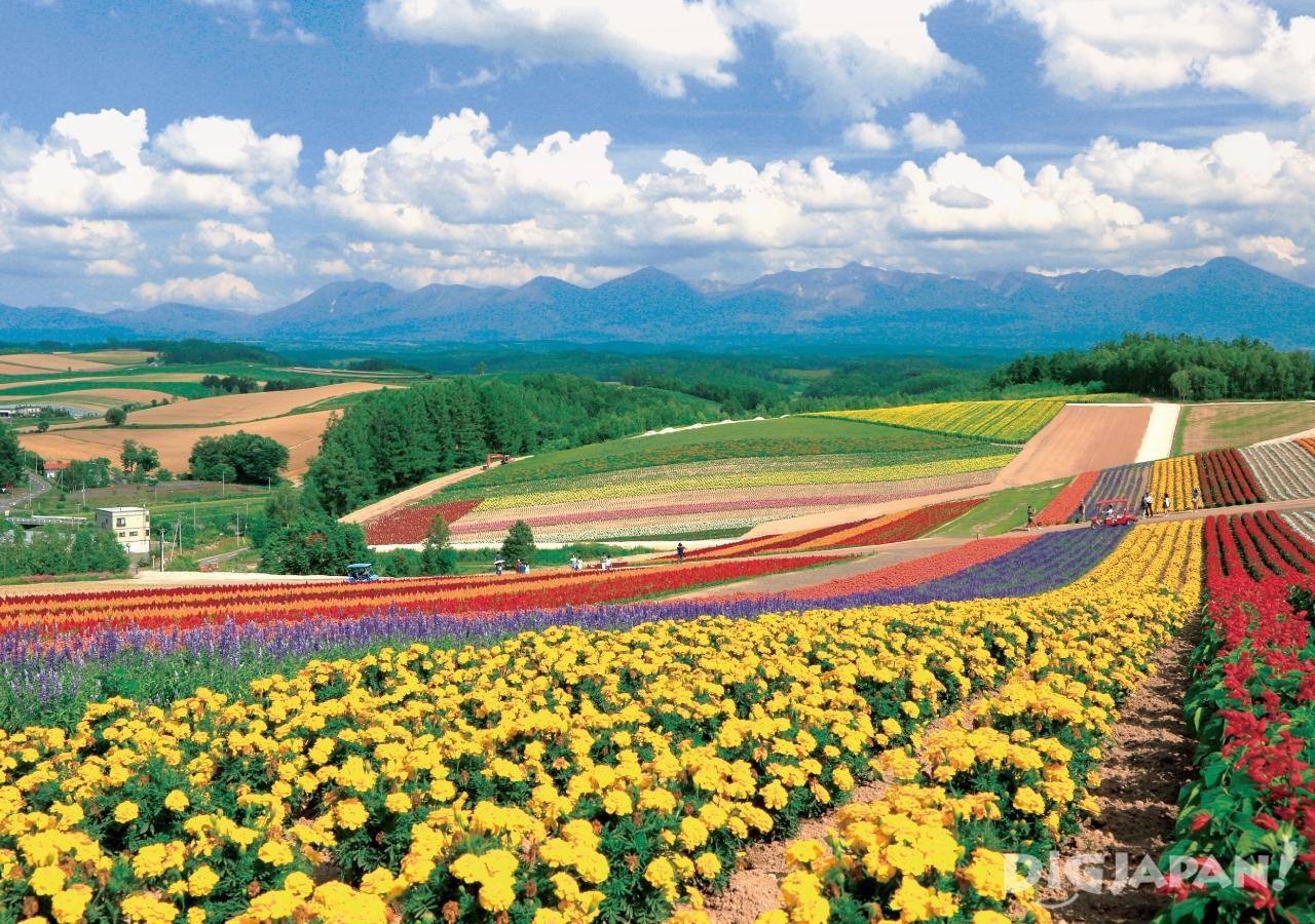 홋카이도의 후라노의 여름 꽃밭5