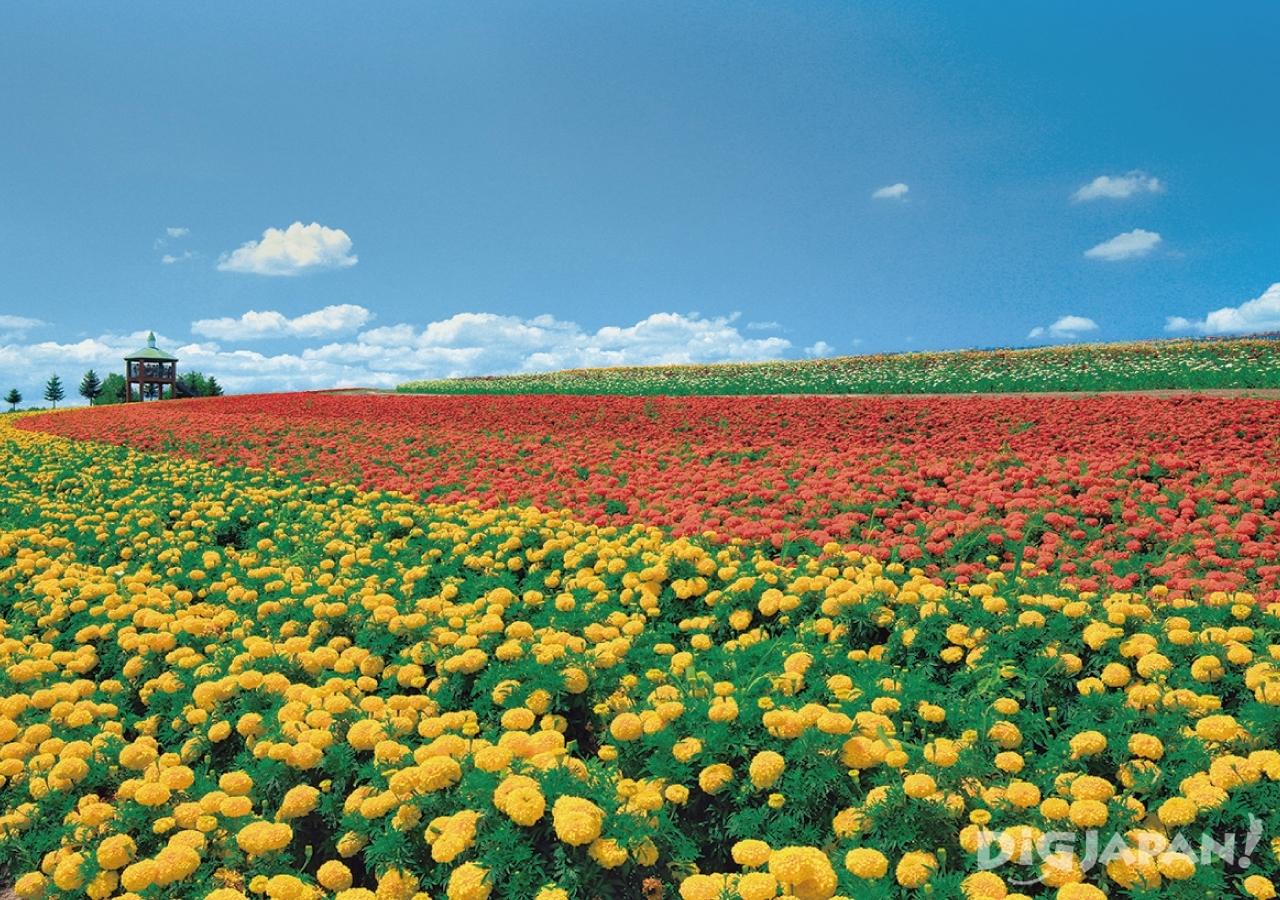 홋카이도의 후라노의 여름 꽃밭6
