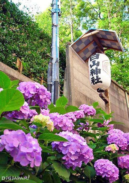 白山神社紫阳花1