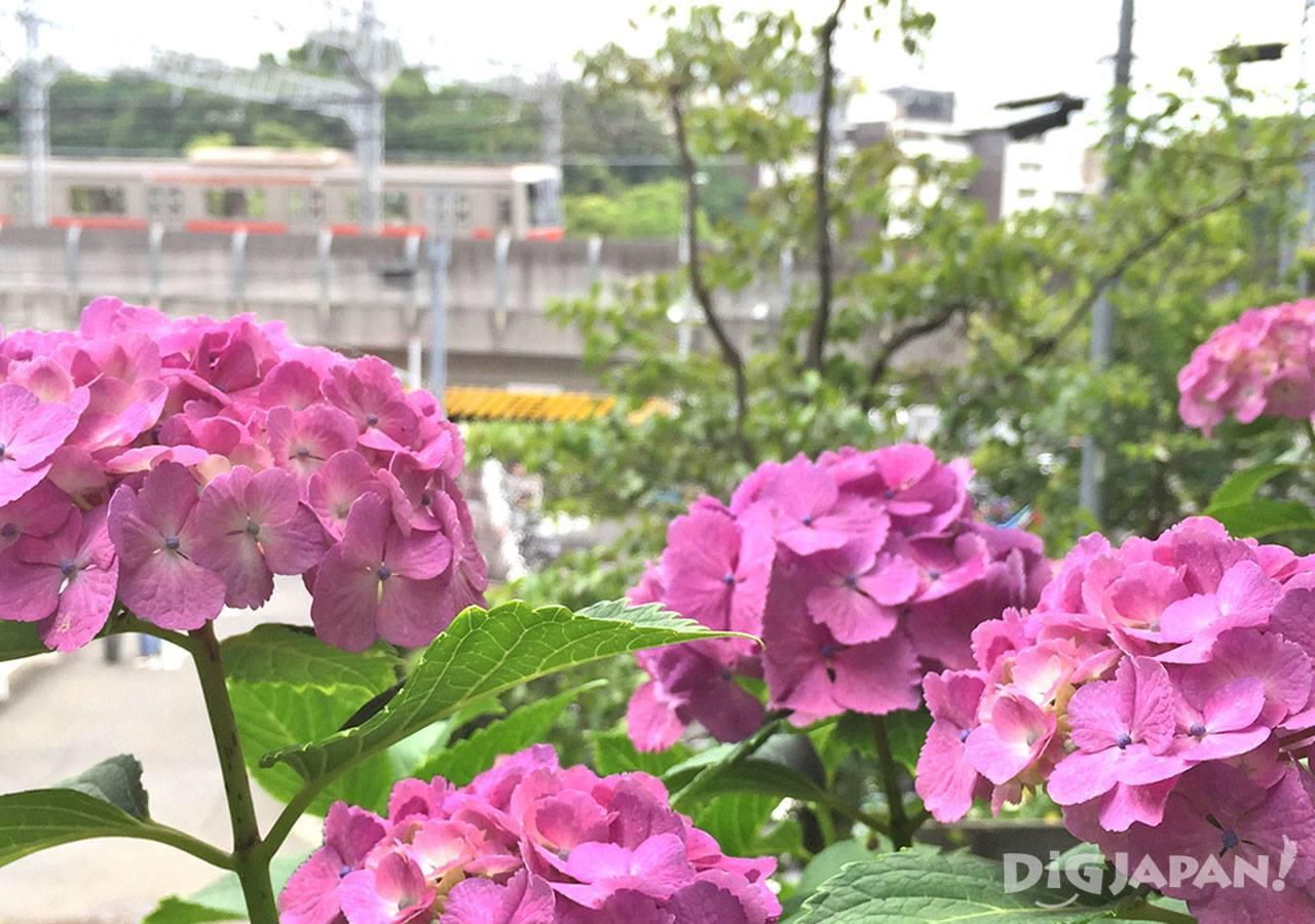多摩川台公园紫阳花5