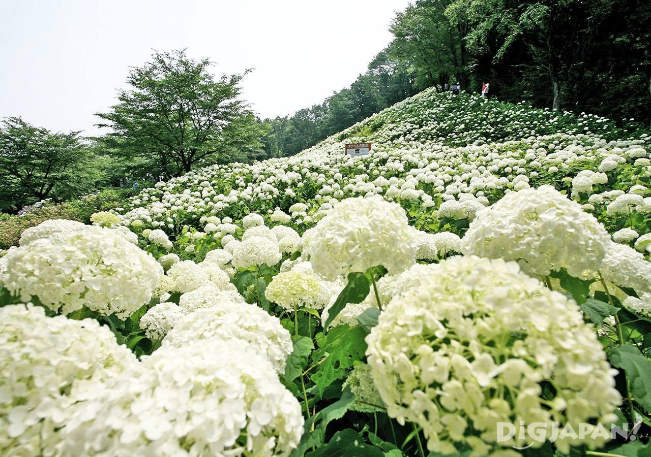 东京夏日乐园紫阳花1
