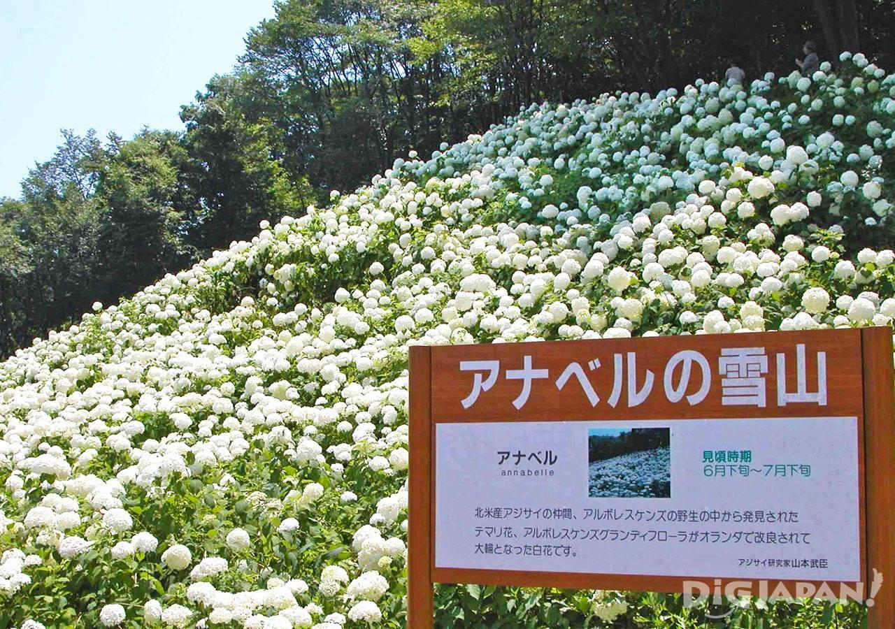 东京夏日乐园紫阳花2