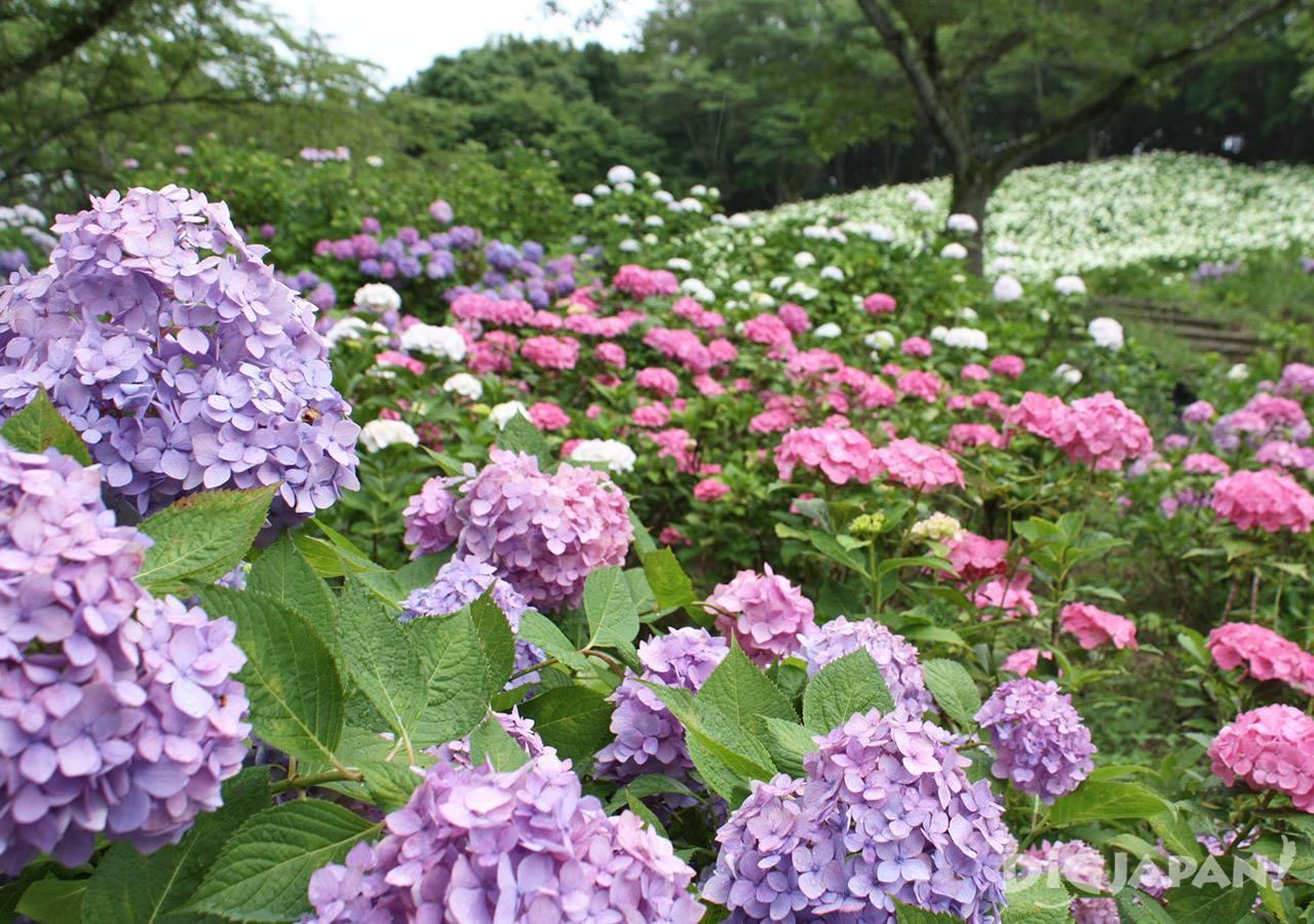 东京夏日乐园紫阳花4