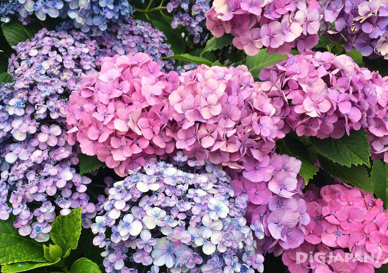 白山神社紫阳花2