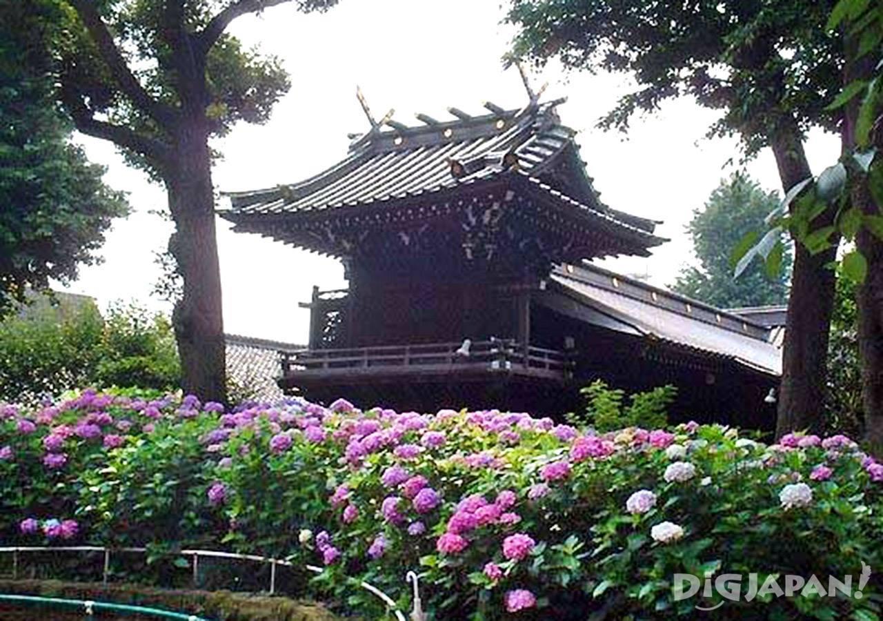 白山神社紫阳花4
