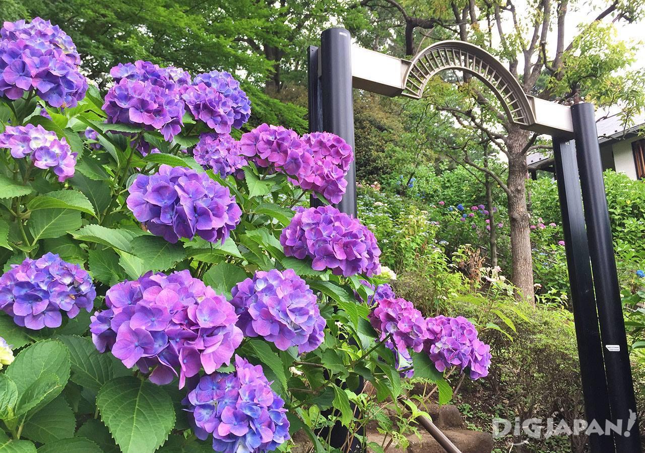 多摩川台公园紫阳花1