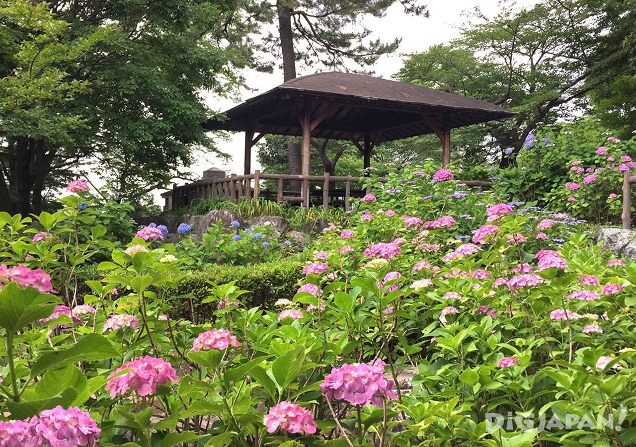 多摩川台公园紫阳花3