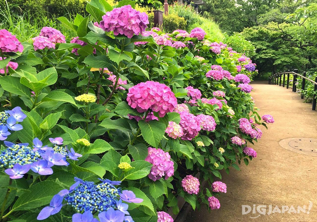 多摩川台公园紫阳花4