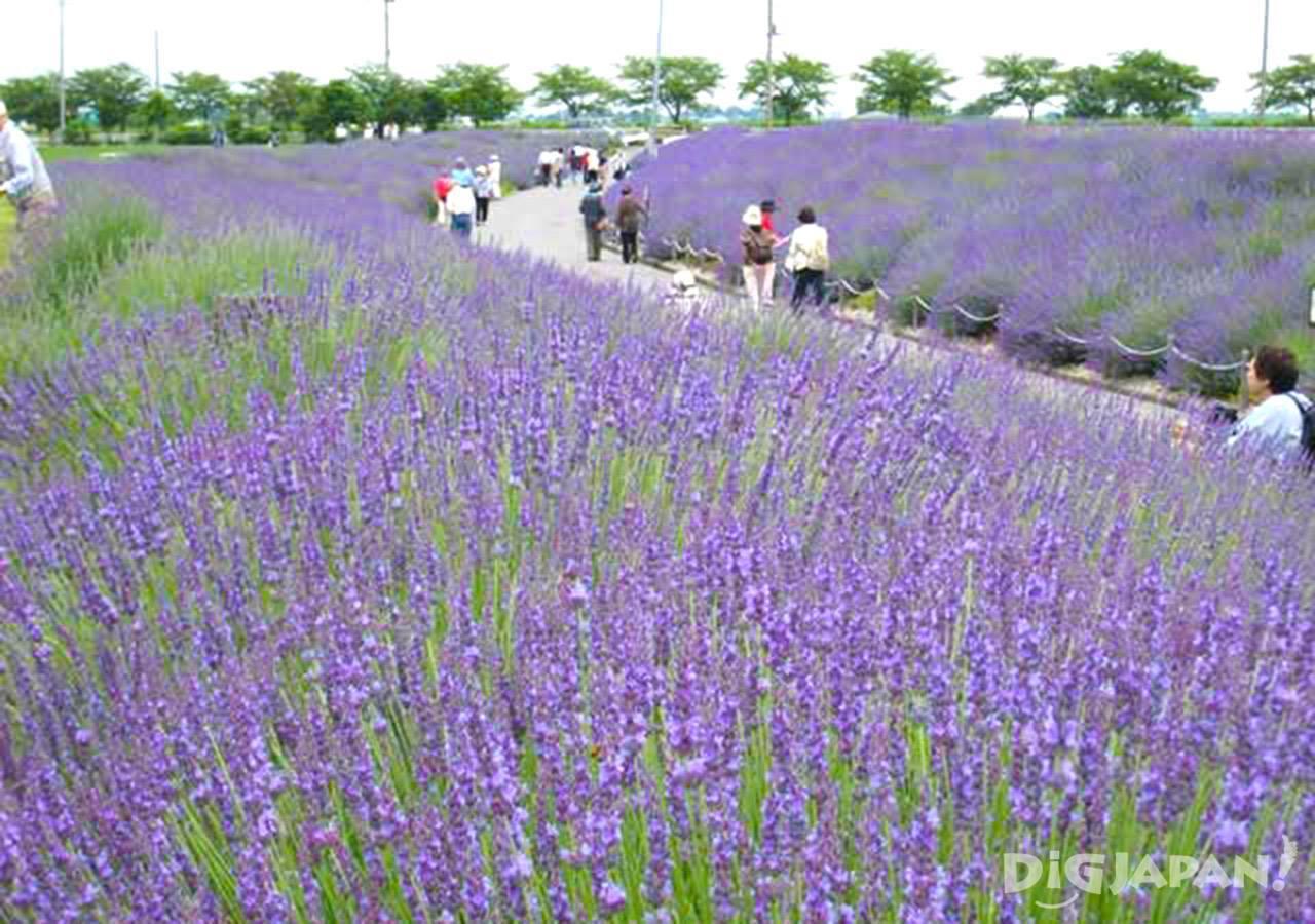 เที่ยวเพลิน 5 ทุ่งลาเวนเดอร์สวยๆรอบโตเกียว!3