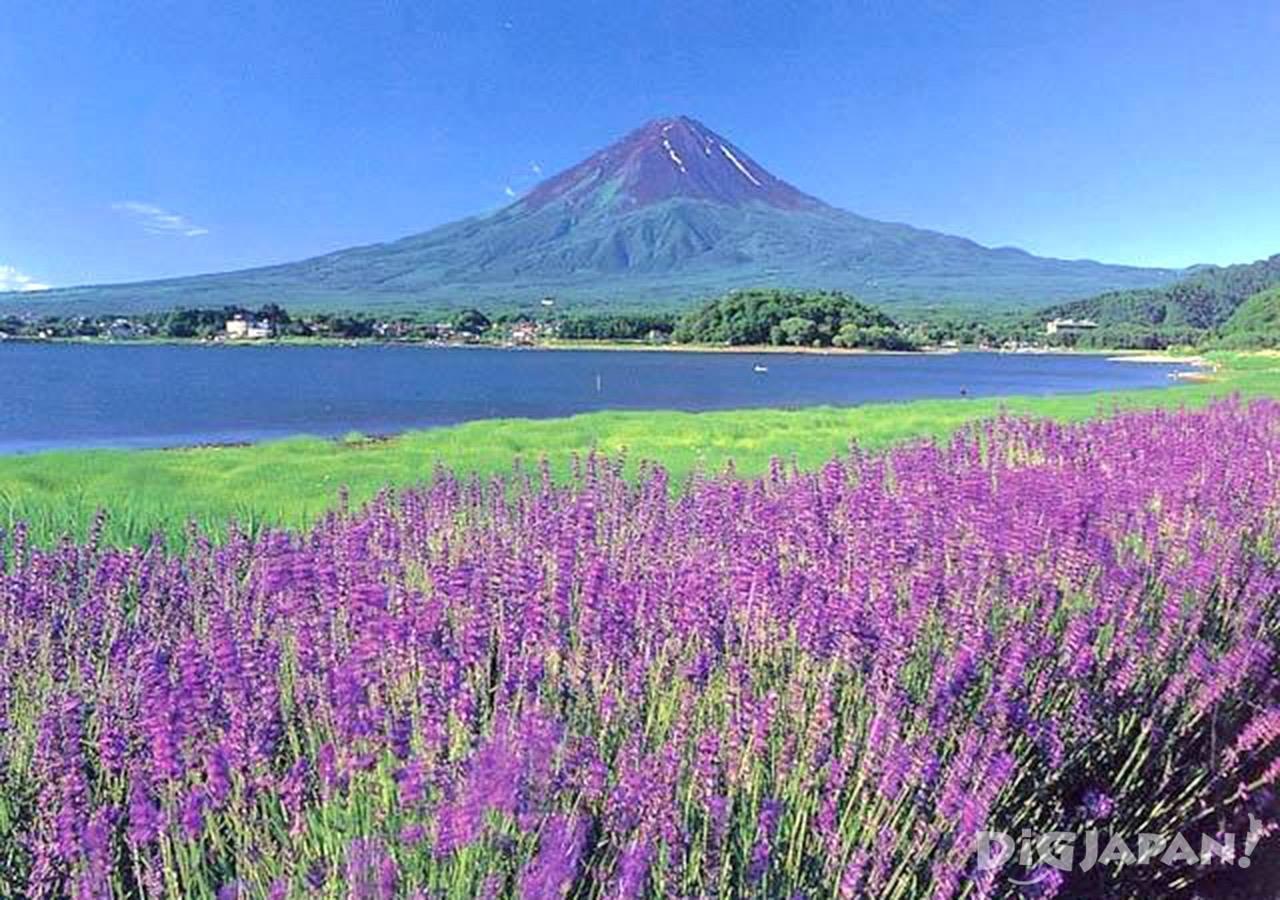 เที่ยวเพลิน 5 ทุ่งลาเวนเดอร์สวยๆรอบโตเกียว!6