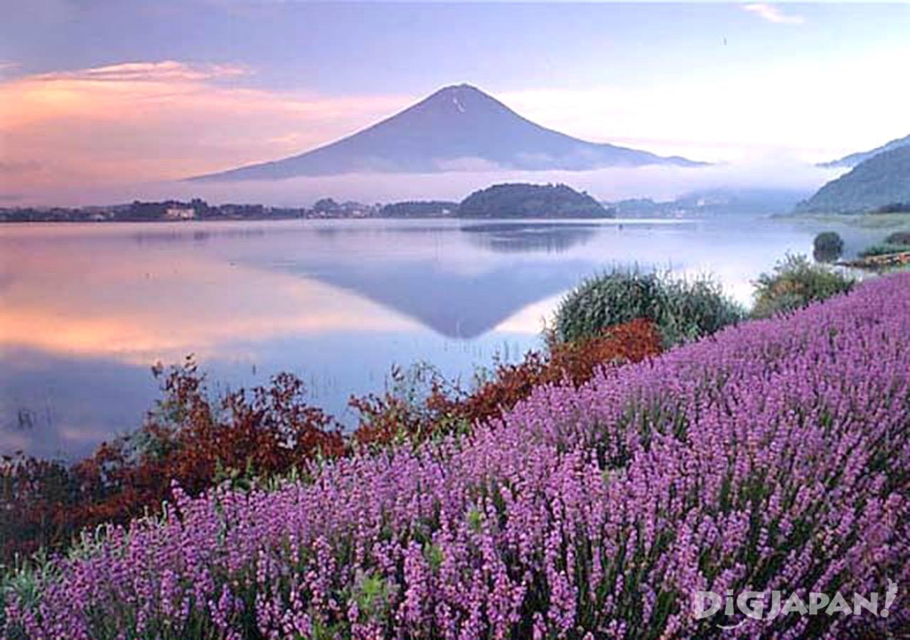 เที่ยวเพลิน 5 ทุ่งลาเวนเดอร์สวยๆรอบโตเกียว!7