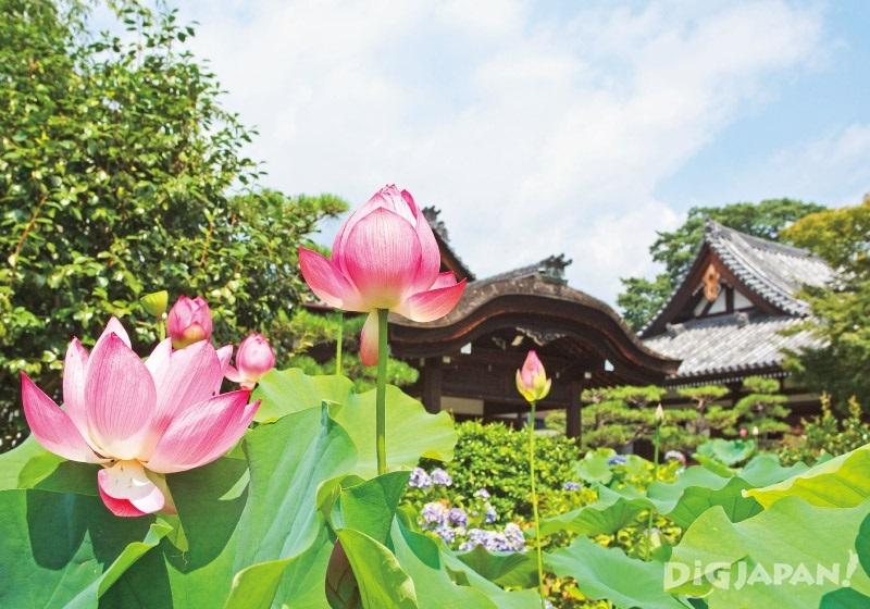 교토 호콘고인 연꽃-1