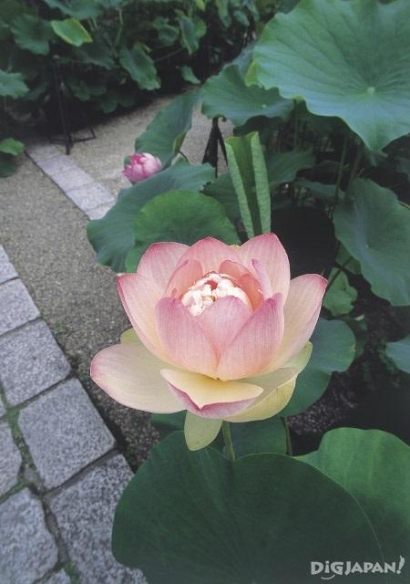 교토 호콘고인 연꽃-2