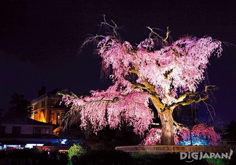 봄철 마루야마 공원의 시다레 자쿠라 일루미네이션