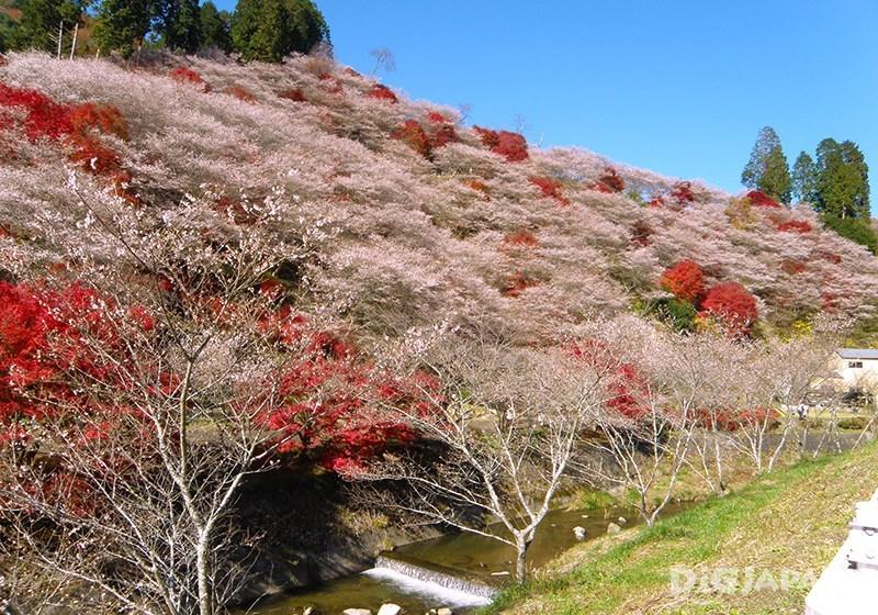 Obara Shikizakura Winter Sakura in Aichi Prefecture_2