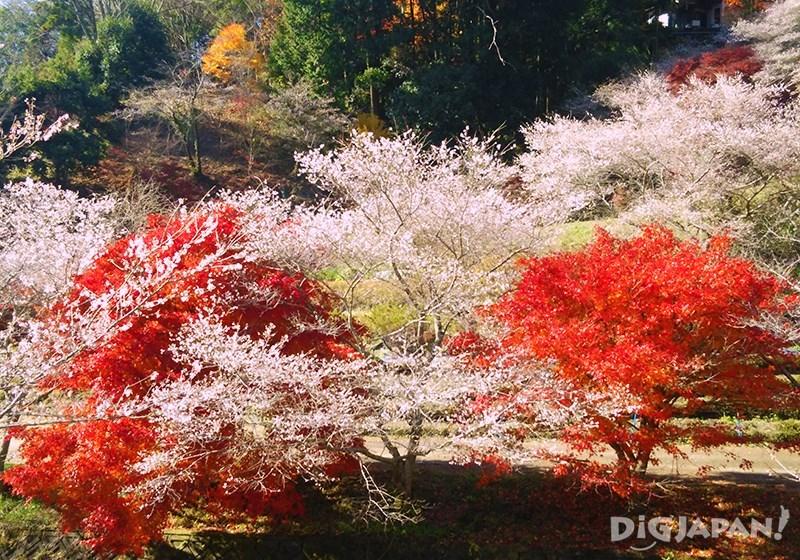 Obara Shikizakura Winter Sakura in Aichi Prefecture_3