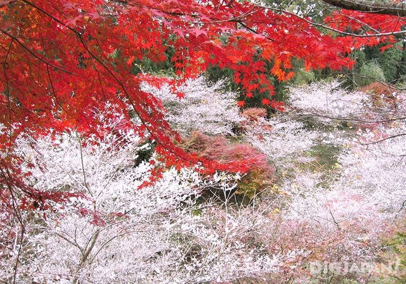 Obara Shikizakura Winter Sakura in Aichi Prefecture_4