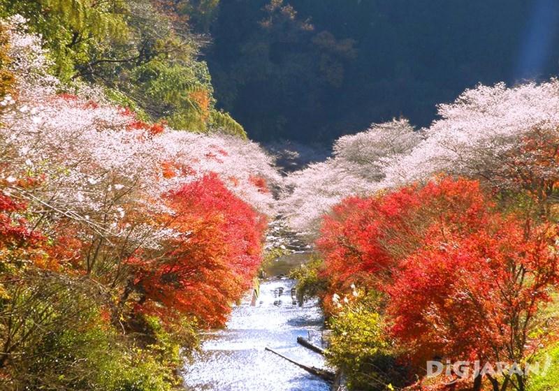 Obara Shikizakura Winter Sakura in Aichi Prefecture_5