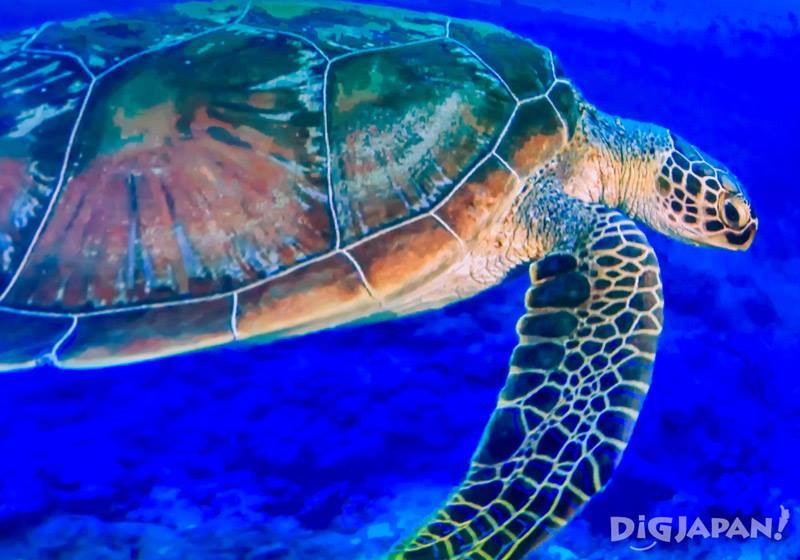 The sea turtle from the in-room ocean projection in Hotel Gracery Naha's Chura-Umi Room.