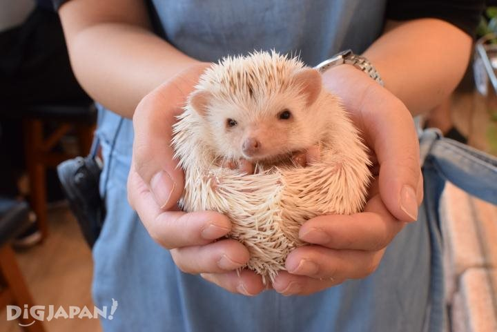 A cinnamon hedgehog