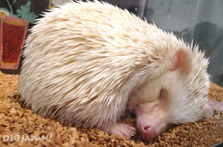 A hedgehog enjoys a nap