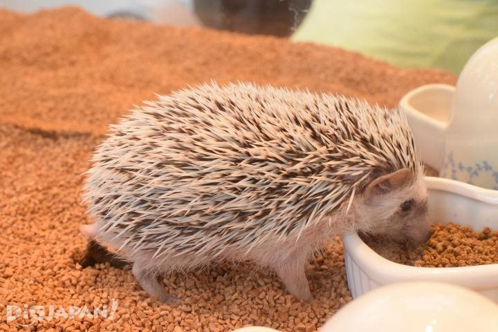 A hedgehog eating
