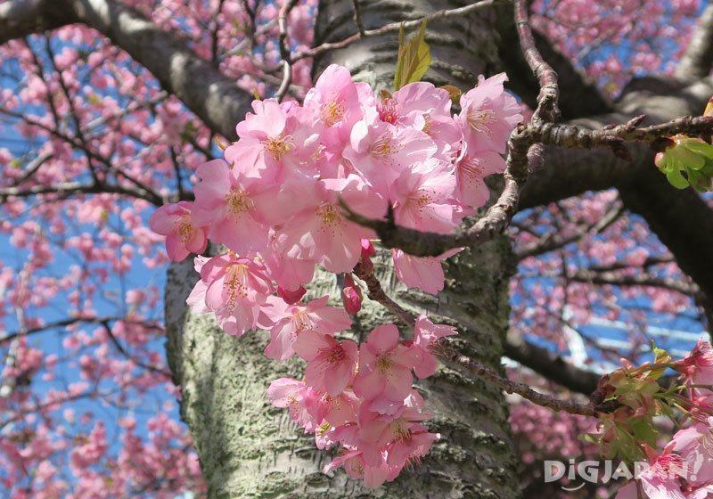 河津桜まつり_河津桜のアップ