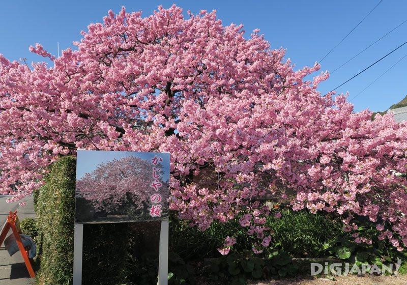 카와즈 벚꽃