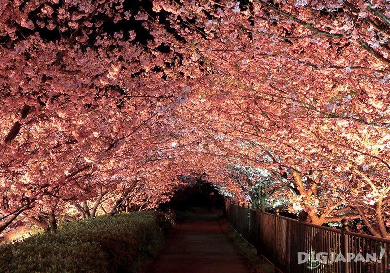 河津桜まつり_ライトアップ