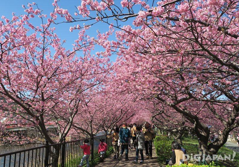河津樱祭樱并木道