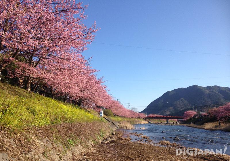 河津桜まつり_河津桜と菜の花