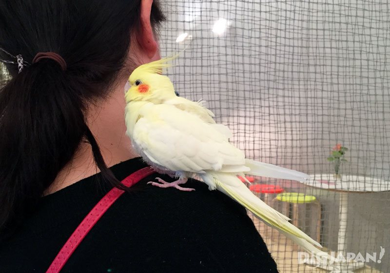 Parakeets landing freely on your hands and shoulders